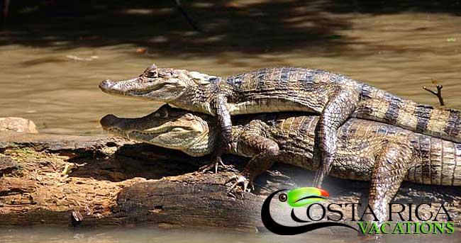 Salt-water crocodiles