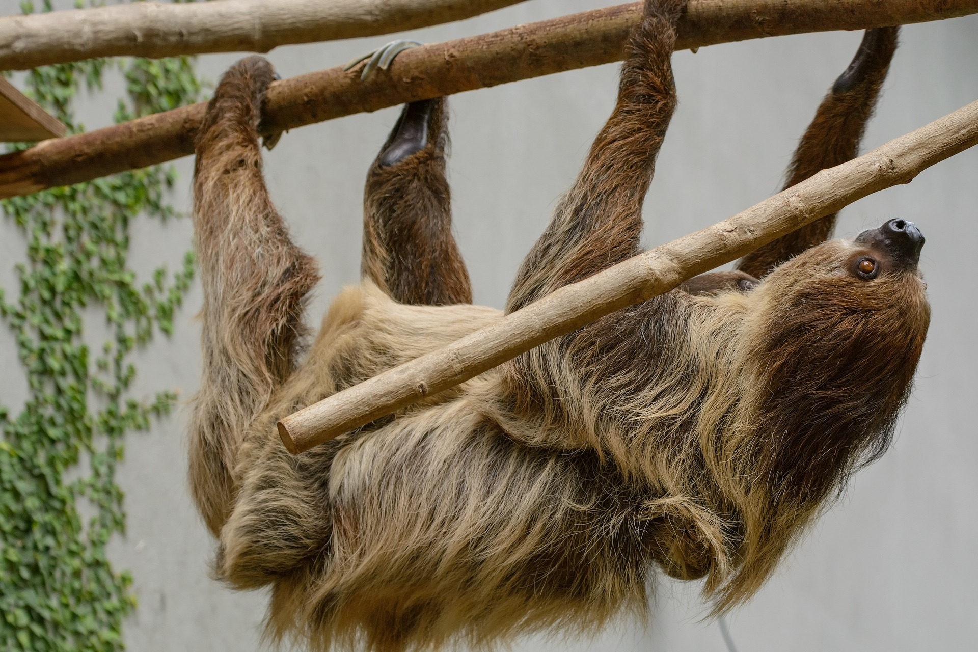Sloths are slow-moving mammals that spend their lives hanging about in the trees of Central and South America.