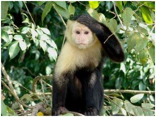 white-headed-monkey