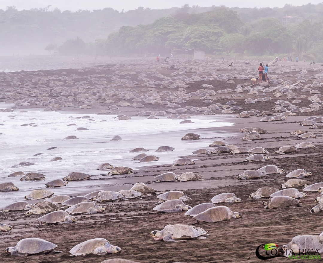 Travel to Costa Rica and see mass nestibg of sea turtles